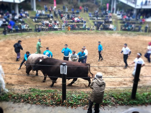 Combats de taureaux à Yamakoshi, préfecture de Niigata, Japon.