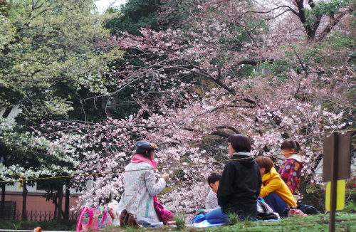 Pique-nique sous les sakura, Tokyo, Japon.
