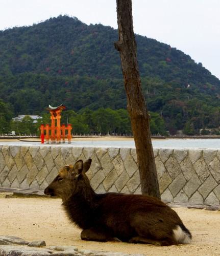 Daim à l'arrivée sur l'île de Miyajima, Japon.