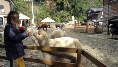 Alpagas dans le joli village rural de Yamakoshi, Japon.