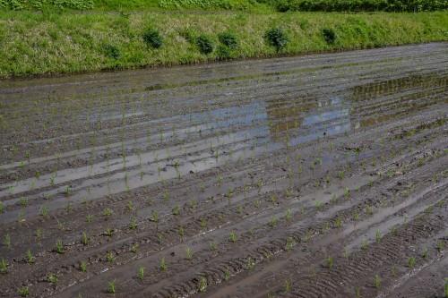 Plantez du riz près de Murakami dans le village de Takane