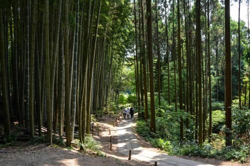 l'arbre camphrier sacré Ohkusu à Takeo Onsen dans la préfecture de Saga