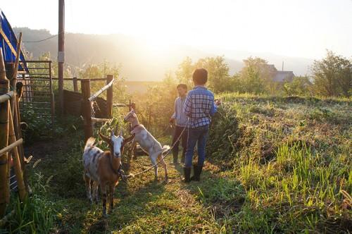 Shinnosuke et Masayoshi sortent les chèvres, dans la péninsule de Kunisaki, à Oita, Kyushu