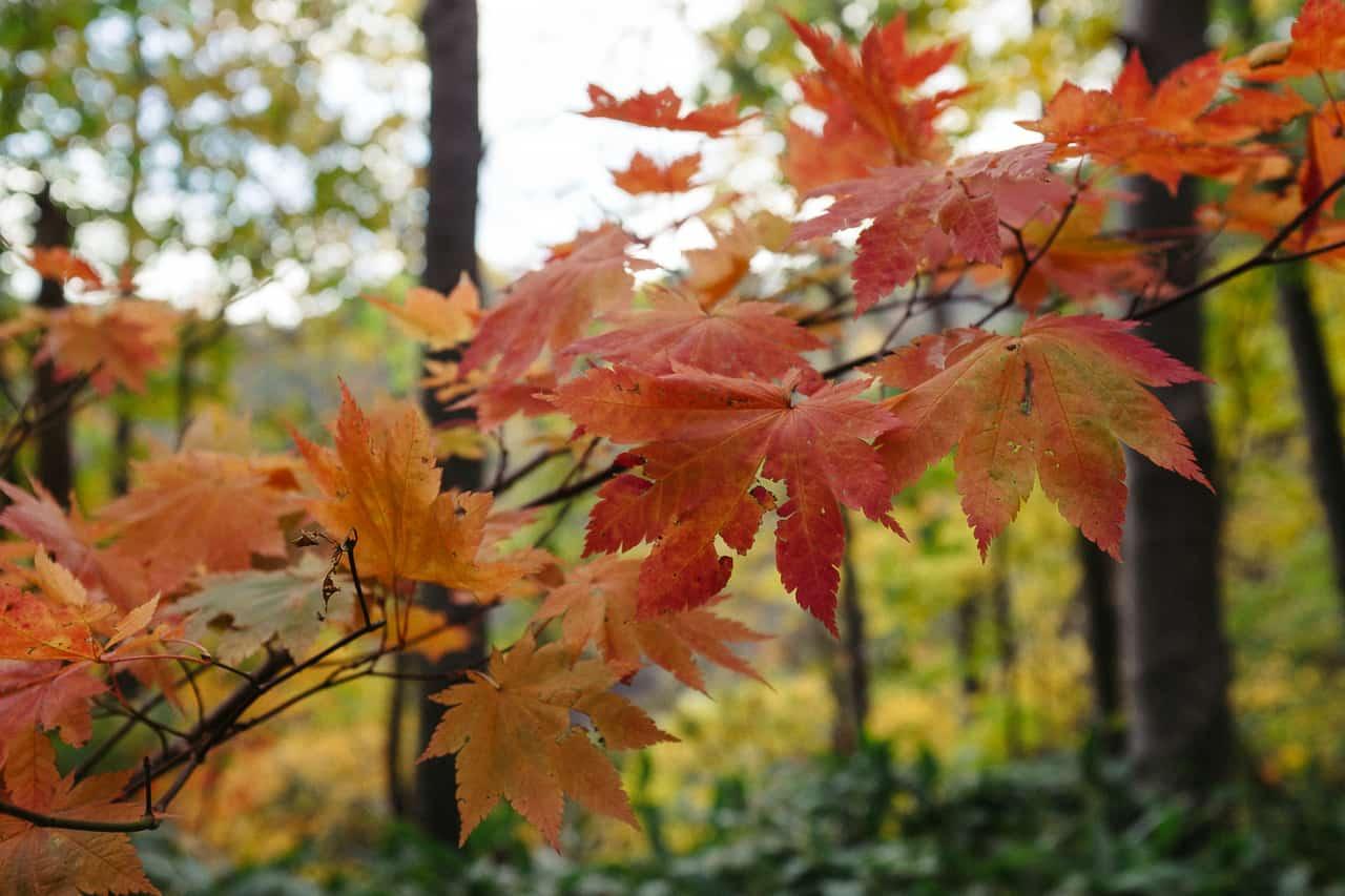 Feuilles d'érable japonais durant l'automne