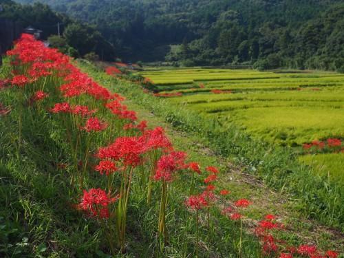 Les rizières de Tashinobushou, à Oita, Kyushu