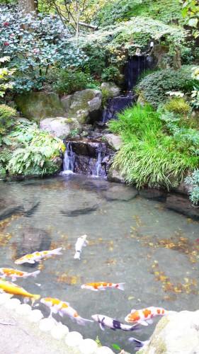 Temple Daikozenji, azalées, momiji, saga, kyushu, carpes Koï