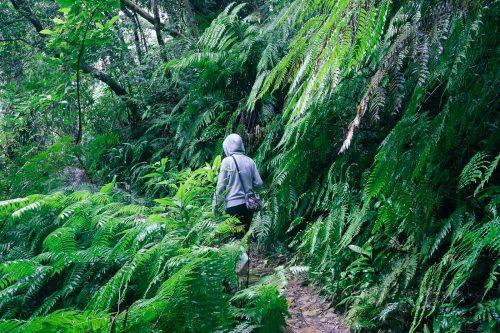 Randonnée dans la jungle de l'île d'Iriomote dans la Préfecture d'Okinawa, Japon