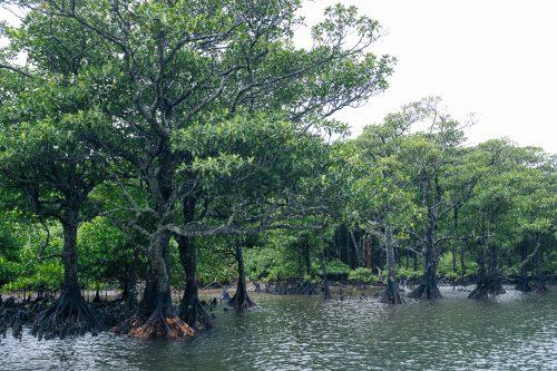 Mangrove sur le fleuve Urauchi sur l'île d'Iriomote dans la Préfecture d'Okinawa, Japon