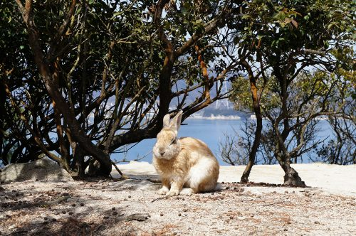 Lapin devant la Mer de Seto sur l'île aux lapins d'Hiroshima