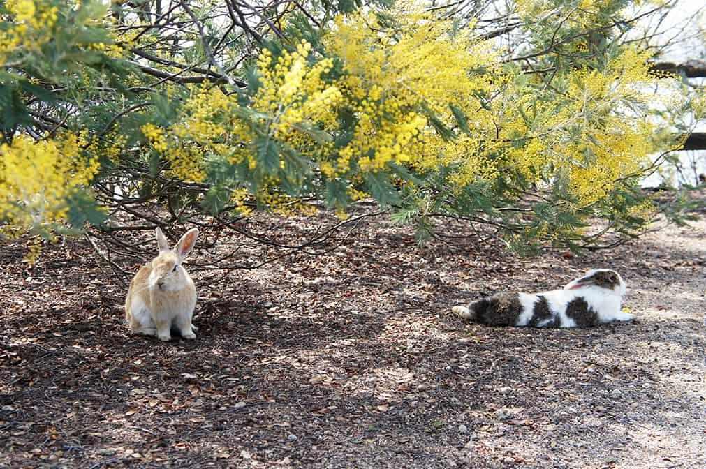 Okunoshima : deux lapins devant du mimosa