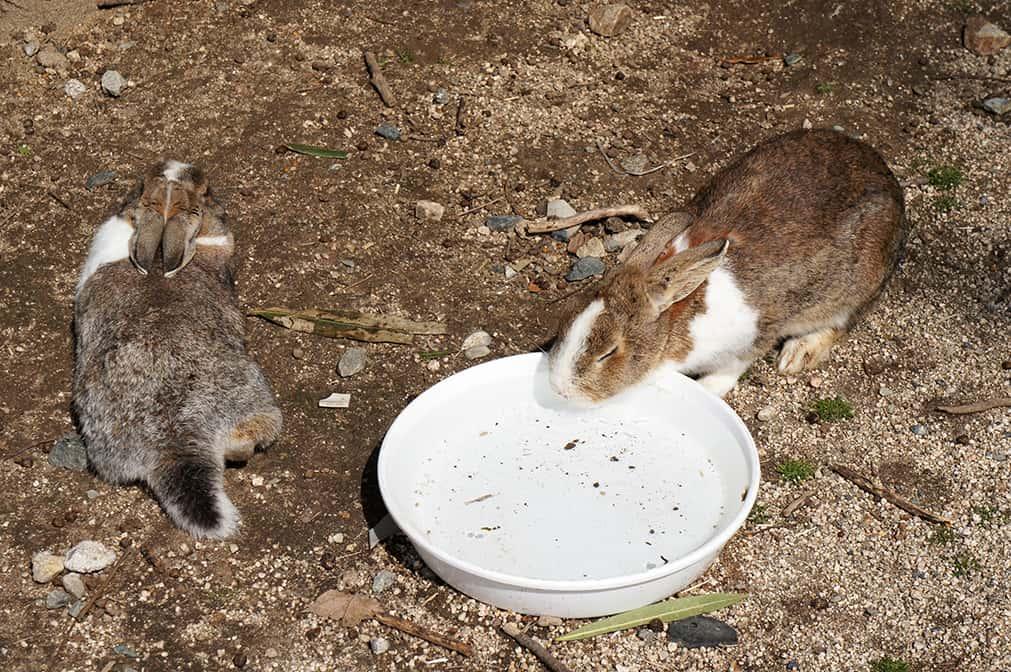 Gamelle d'eau sur l'île des lapins
