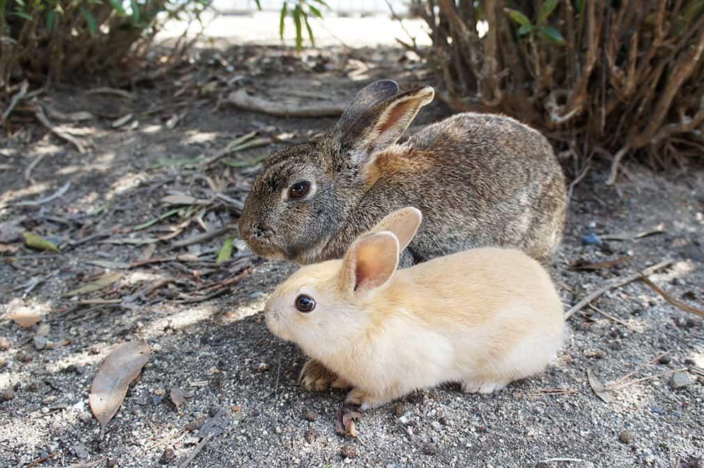Sur l'île des lapins à Hiroshima : un lapin adulte et un lapinot