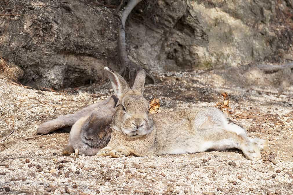Deux lapins faisant une sieste sur à Okunoshima