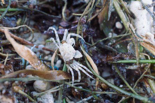 Petit crabe sur une plage de Taketomi dans la Préfecture d'Okinawa, Japon