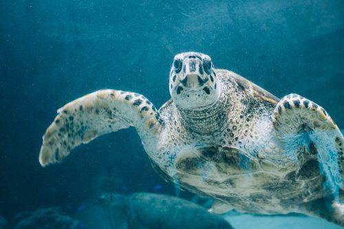 Tortue marine visible à l'aquarium Churaumi sur l'île d'Okinawa, Japon
