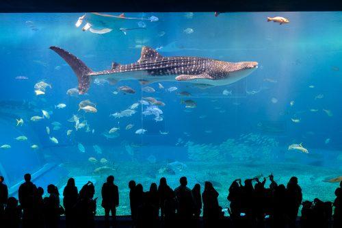 Dans l'aquarium Churaumi sur l'île d'Okinawa, Japon