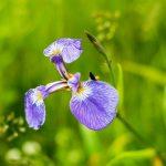 Les fleurs sauvages de Koshimizu Genseikaen à l'Est d'Hokkaido