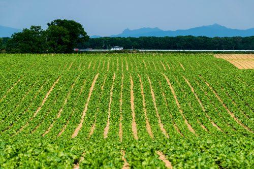 Les champs vallonnés de Koshimizu-cho, Hokkaido, Japon
