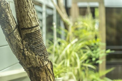 Arbre produisant de la sève utilisée comme encre dans les ateliers de sculpture et laque sur bois dans la ville de Murakami près de Niigata, Japon