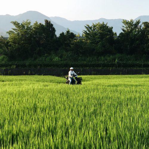Rizières aux alentours du ryokan Riraku de la ville de Toon, préfecture d'Ehime, Japon