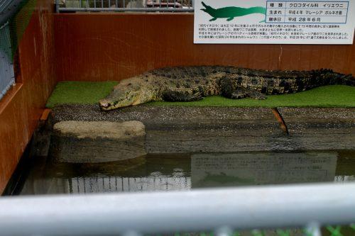 """Crocodile dans les """"enfers"""" de la ville thermale de Beppu, préfecture d'Oita, Japon"""
