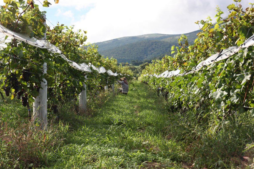 Kuju Winery, vignoble du parc Aso-Kuju, Kyushu, Japon
