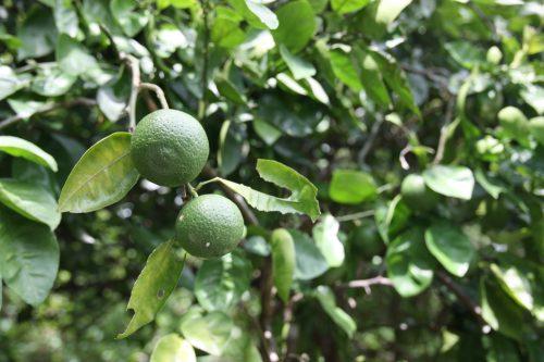 Arbre fruitier sur la randonnée olle à Kawara, préfecture de Fukuoka, Kyushu, Japon