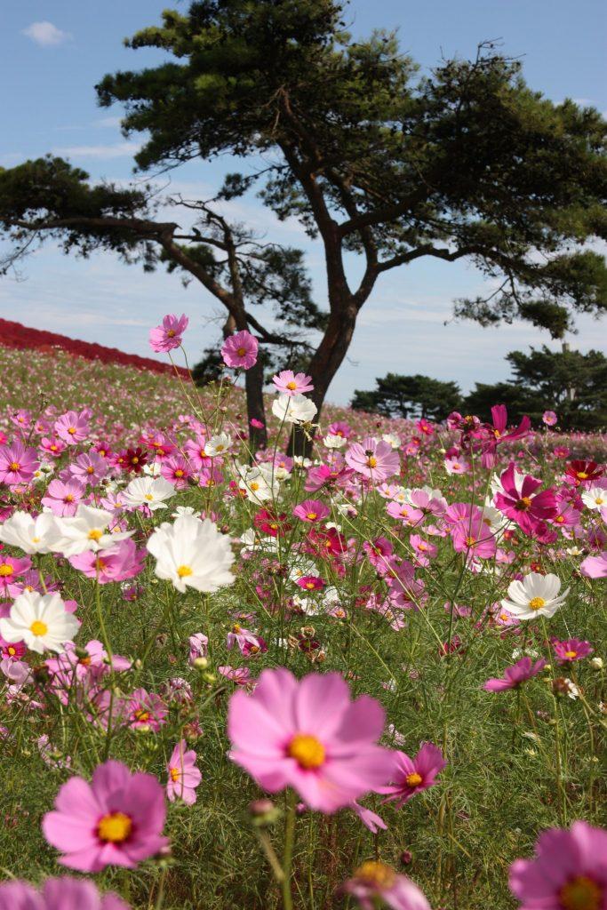 Cosmos en fleurs au Hitachi Seaside Park, préfecture d'Ibaraki, Japon