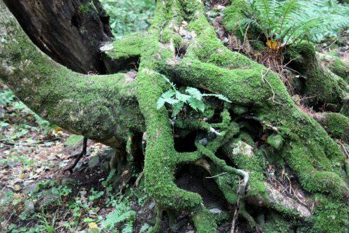 Forêt au pied du Mt Daisen, préfecture de Tottori, Japon