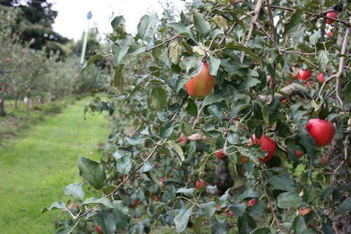 Verger de pommes sur le Mt Daisen dans la préfecture de Tottori, Japon