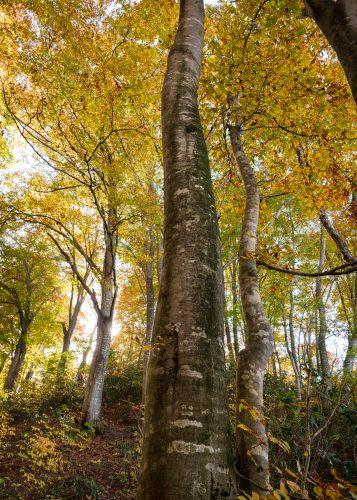 Randonnée parmi les hêtres jaunes du Shin-etsu Trail, Préfecture de Nagano, Japon