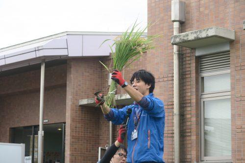 Récolte du riz à la faucille pour créer une oeuvre de Tambo Art à Gyoda, préfecture de Saitama, Japon
