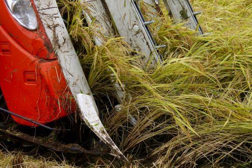 Récolte des rizières à Murakami, préfecture de Niigata, Japon