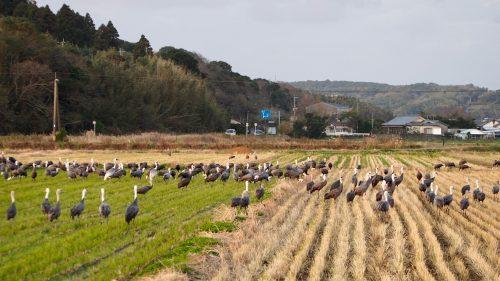 Observer les grues rassemblées dans les champs d'Izumi, préfecture de Kagoshima, Kyushu, Japon