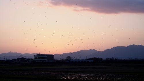 Envol des grues dans le ciel rose du matin, à Izumi, préfecture de Kagoshima, Kyushu, Japon