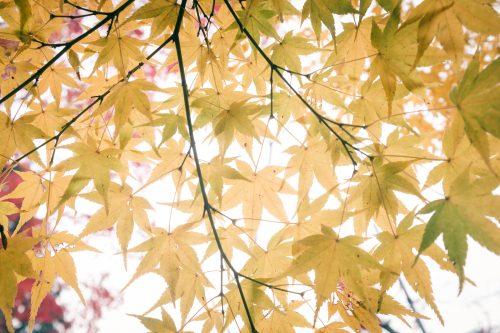 Couleurs d'automne sur les érables de Mino, Osaka, région de Kinki, Japon