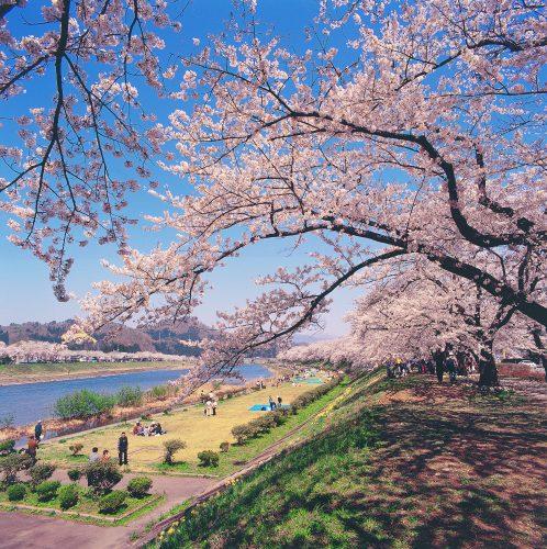 Les magnifiques cerisiers en fleurs au printemps le long de la rivière à Kakunodate, Senboku, Akita, Japon