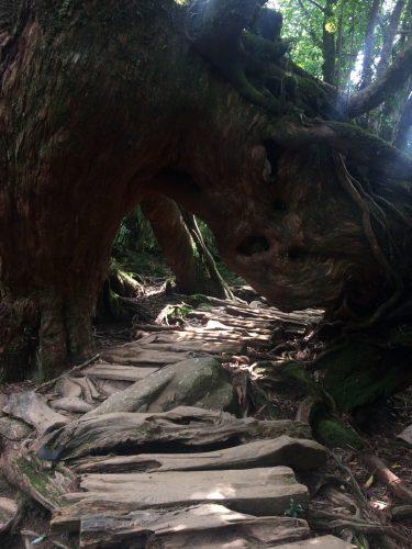 Le chemin de randonnée pass sous un cèdre à Shiratani Unsuikyo sur l'île de Yakushima, Japon