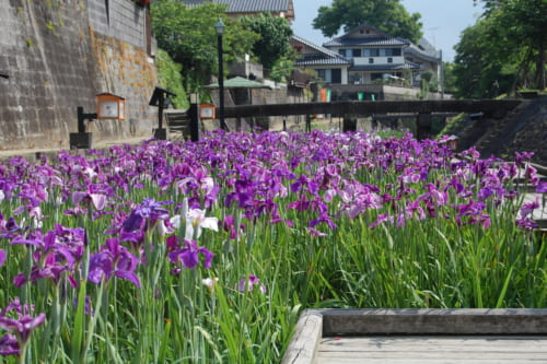 Iris en fleurs dans le parc Takase Urakawa Brink Green à Tamana, une promenade aménagée au bord de la rivière