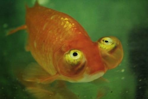 Gros plan sur un poisson rouge choutengan, aux gros yeux globuleux tournés vers le ciel