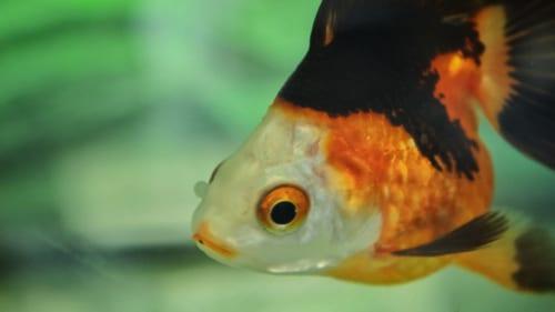 Gros plan sur un poisson rouge tricolore : blanc, vermillon et noir
