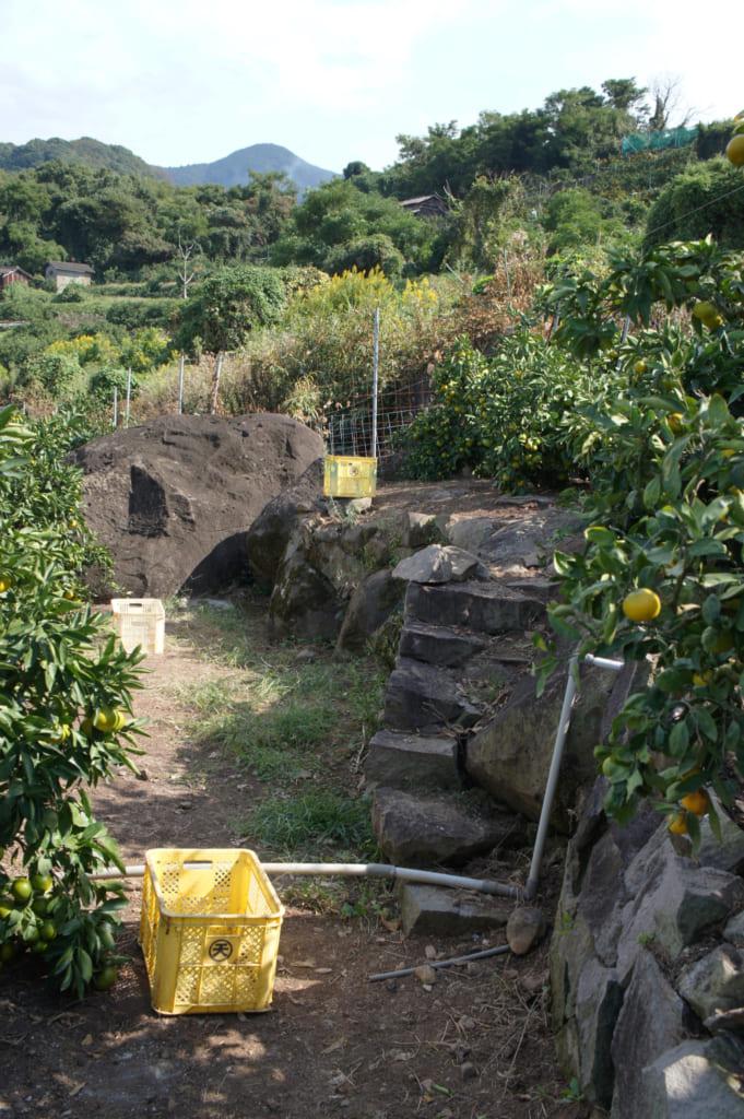 Une allée bordée d'arbres et de cagettes au Mizumoto Orange Garden