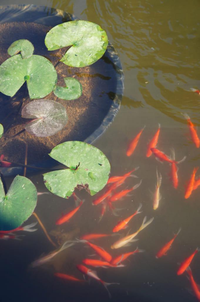Poissons rouges et feuilles de lotus dans le jardin du temple Zenriyuji