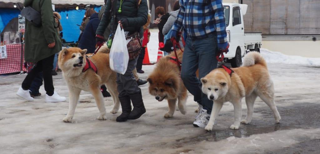 Défilé de Akita inu au festival Inukko Matsuri