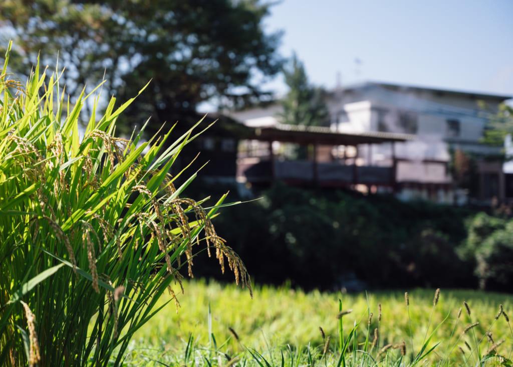 Brins de riz au premier plan devant le Horei-no-Yu à Waita Onsen