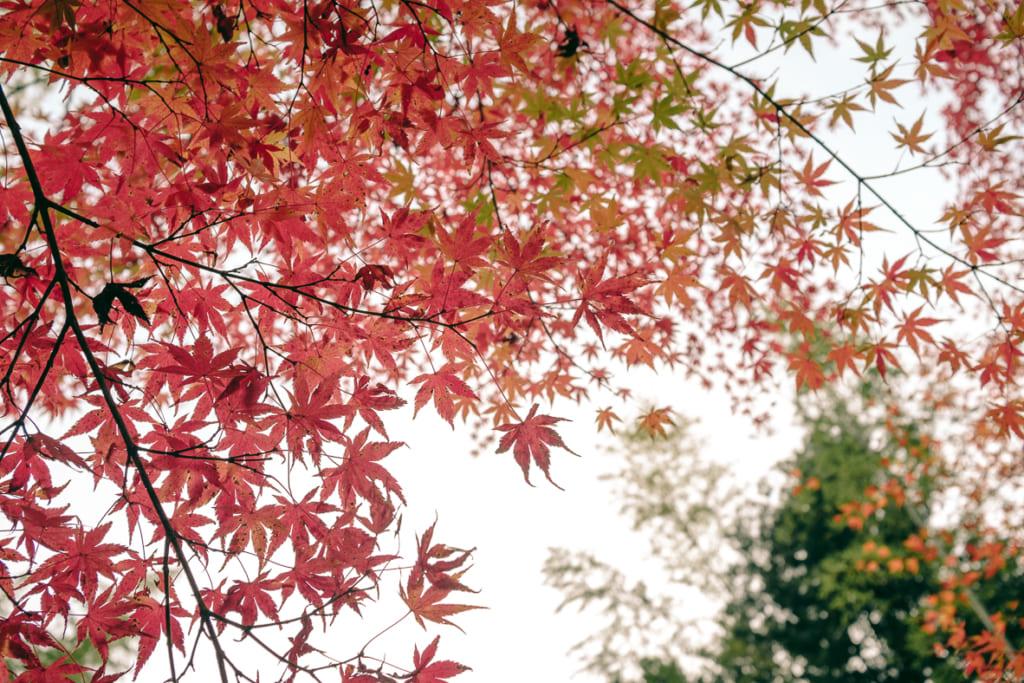 Feuilles d'érable japonais devenues rouges