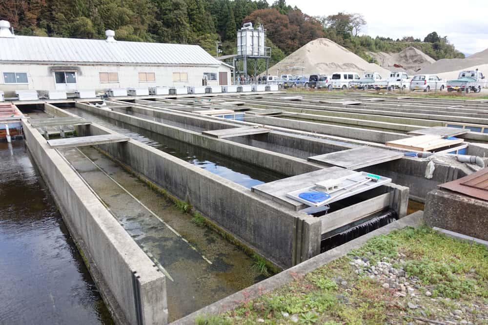 Bassins d'élevage où des oeufs de saumon sont fécondés