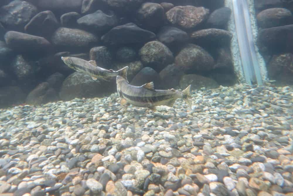 Des saumons dans leur environnement naturel