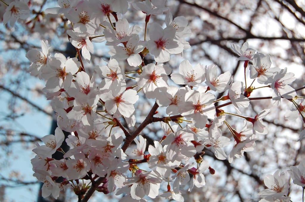 Fleurs de cerisier lors du hanami au Japon