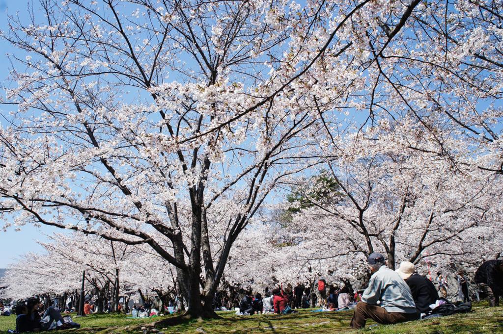 Personnes fêtant le hanami sous les cerisiers en fleurs à Morioka